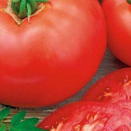 Siemenpussi Tomaatti, Moneymaker